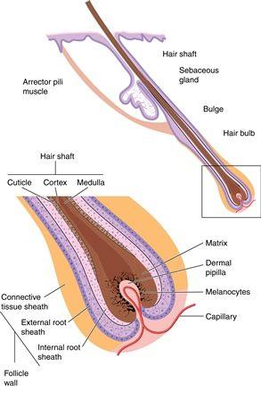 Human Hair Anatomy Hair Follicle Anatomy Ny Hair Loss